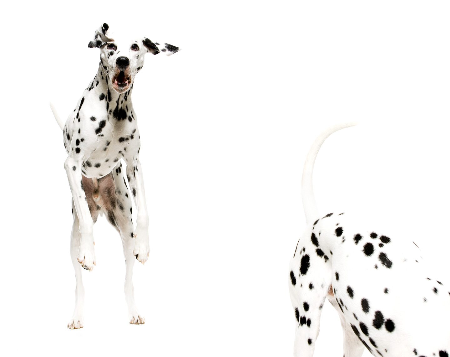 Los Angeles Dog Photography, Michael Brian, pet, cat, Dalmatian jumping, Studio portrait