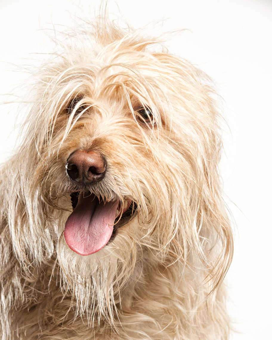 Los Angeles Dog Photography, Michael Brian, pet, cat, Labradoodle, Smiling studio headshot