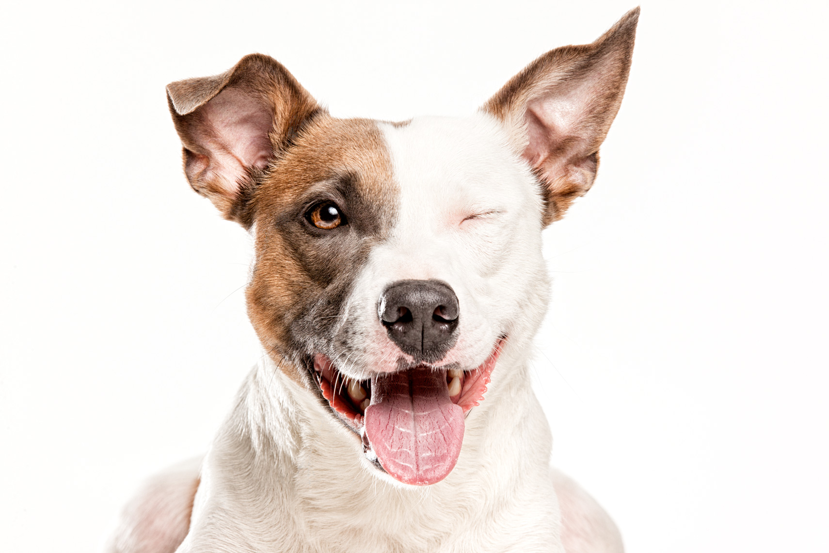 Los Angeles Dog Photography, Michael Brian, pet, cat, Pit Bull mix winking,  Studio headshot portrait