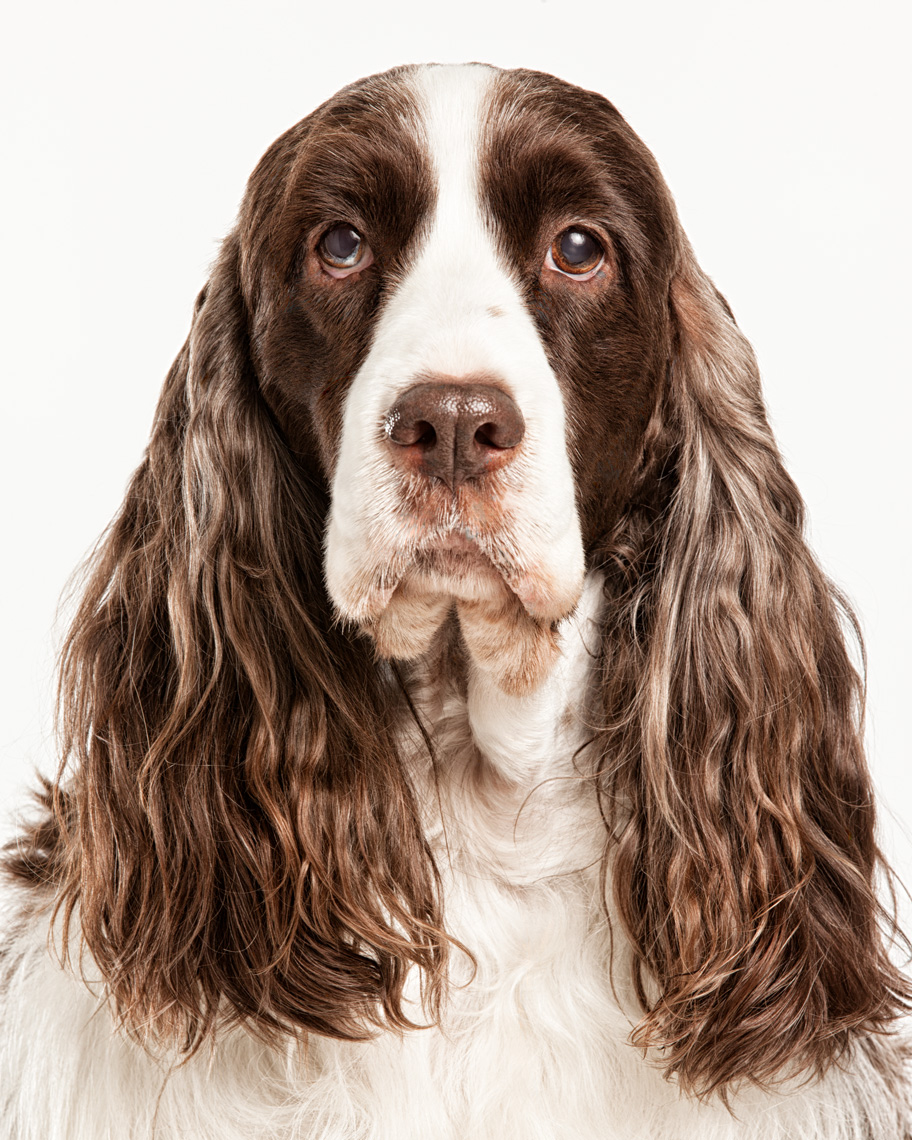 Los Angeles Dog Photography, Michael Brian, pet, cat, Springer Spaniel, studio headshot portrait