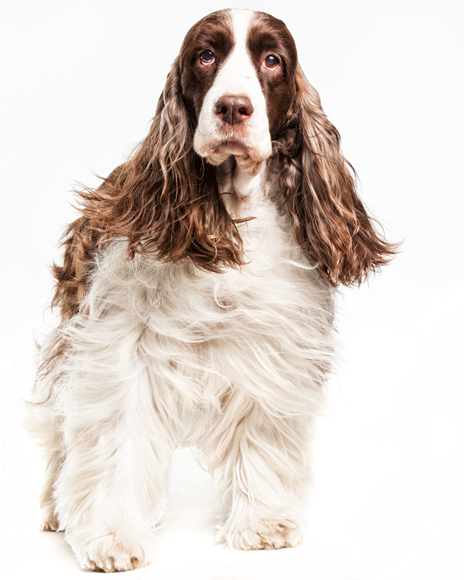 Los Angeles Dog Photography, Michael Brian, pet, cat, Springer Spaniel, hair blowing, Full body studio portrait