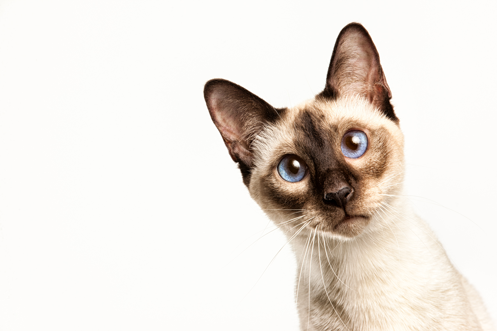 Los Angeles Cat Photography, Michael Brian, pet, dog, Siamese Cat, Studio portrait
