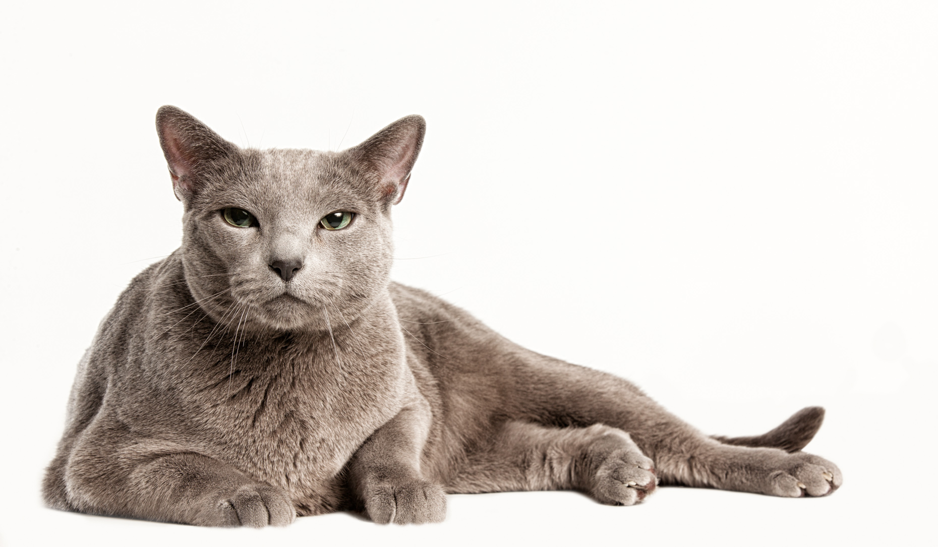 Los Angeles Cat Photography, Michael Brian, pet, dog, Russian Blue Cat laying down, studio portrait