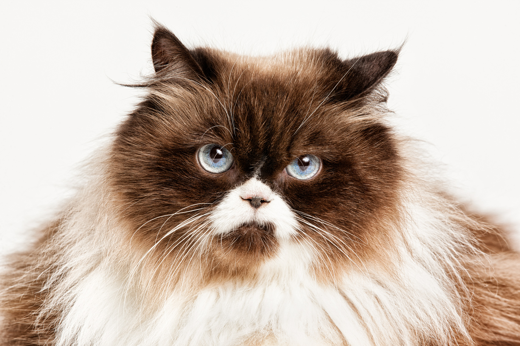 Los Angeles Cat Photography, Michael Brian, pet, dog, Awesome Himalayan cat, studio portrait, Studio portrait