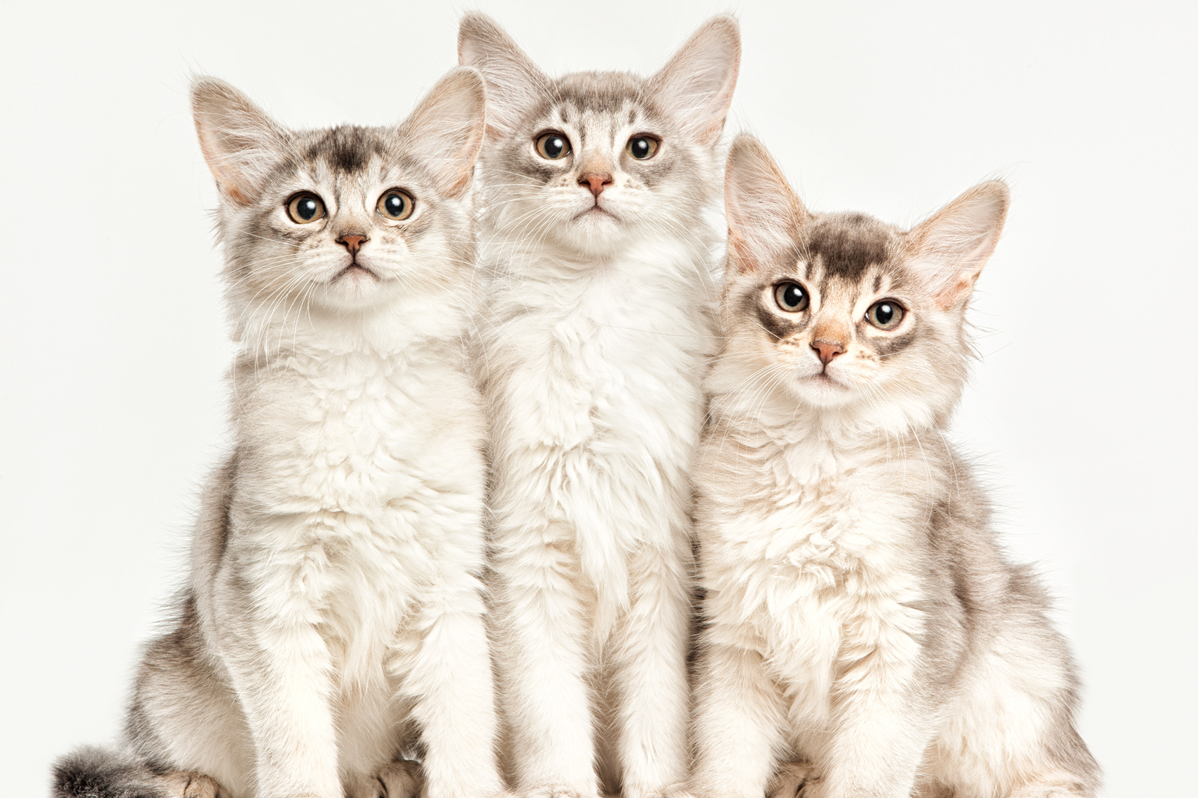Los Angeles Cat Photography, Michael Brian, pet, dog, Three kittens sitting side by side, Studio portrait