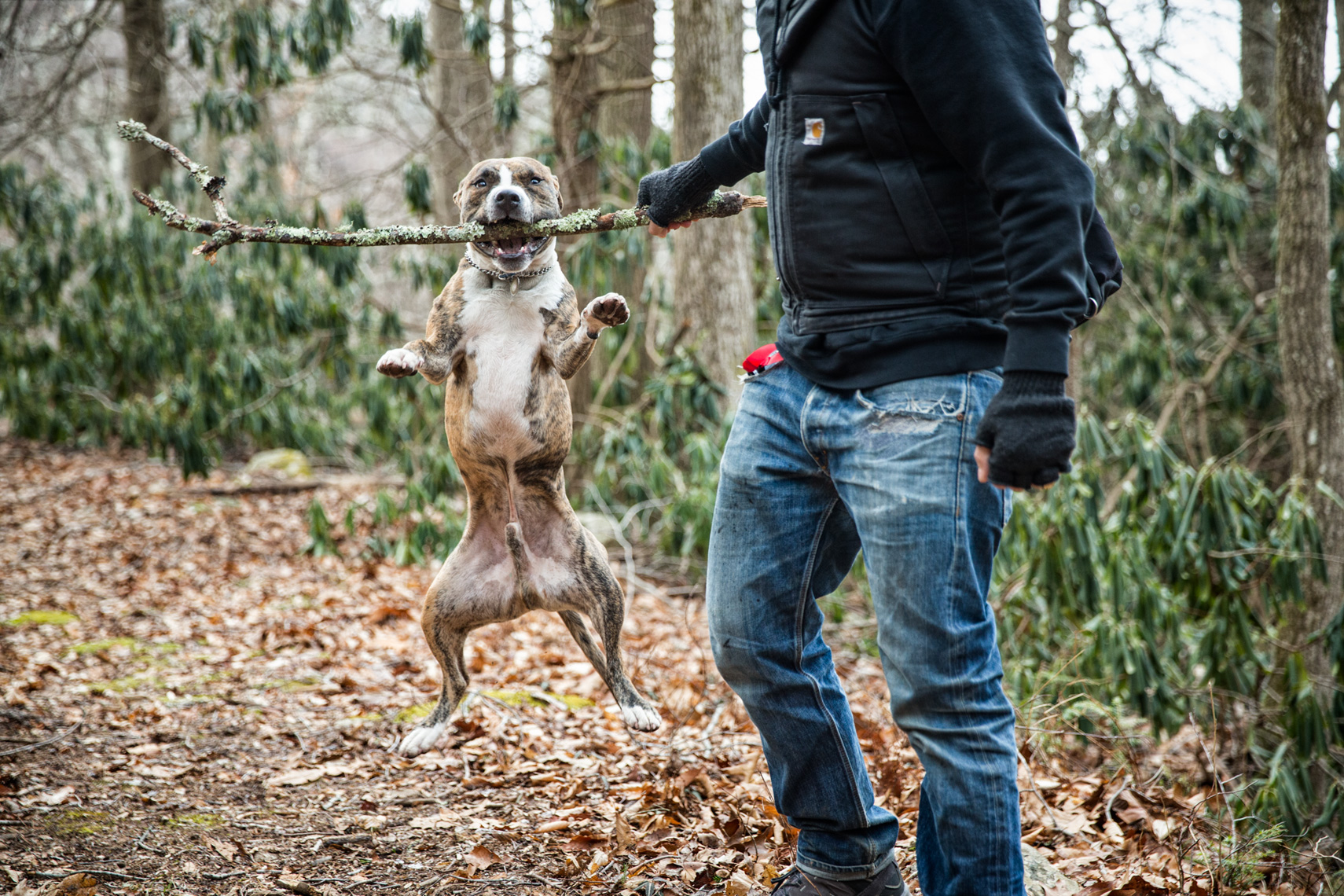 Los Angeles Dog Photography, Michael Brian, Pit Bull plays with stick, Zeus Jones Purina ONE 28 Day Challenge Asheville, North Carolina, Michael Brian Dog Photography