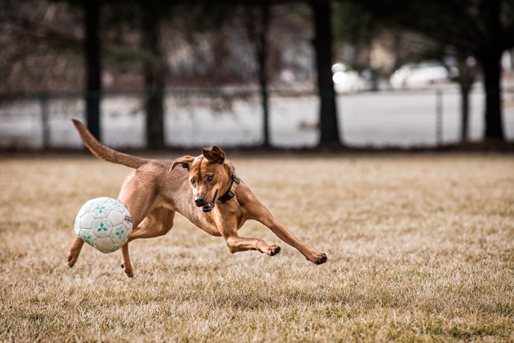 Los Angeles Dog Photography, Michael Brian, pet, cat, Dog chasing soccer ball, Zeus Jones Purina ONE 28 Day Challenge Asheville, North Carolina