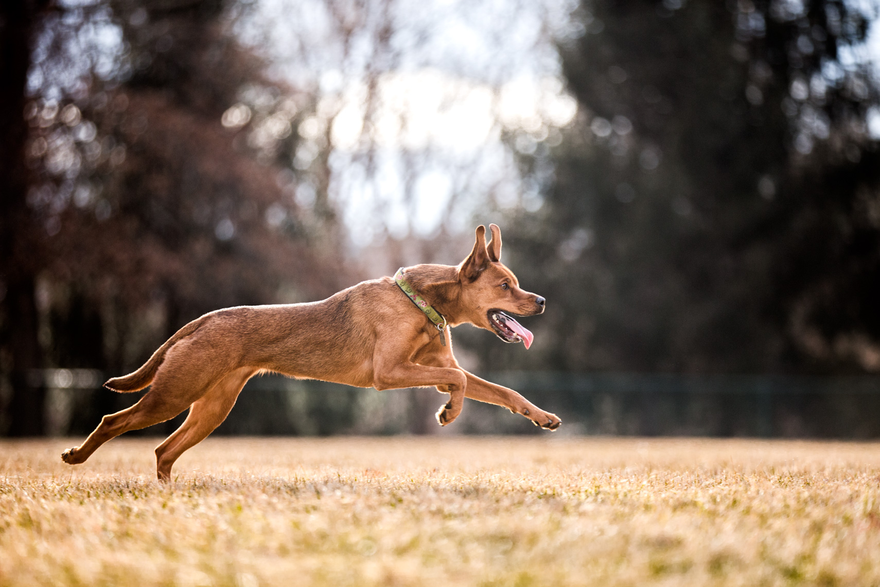 Los Angeles Dog Photography, Michael Brian, pet, cat, Dog full speed run, Zeus Jones Purina ONE 28 Day Challenge Asheville, North Carolina