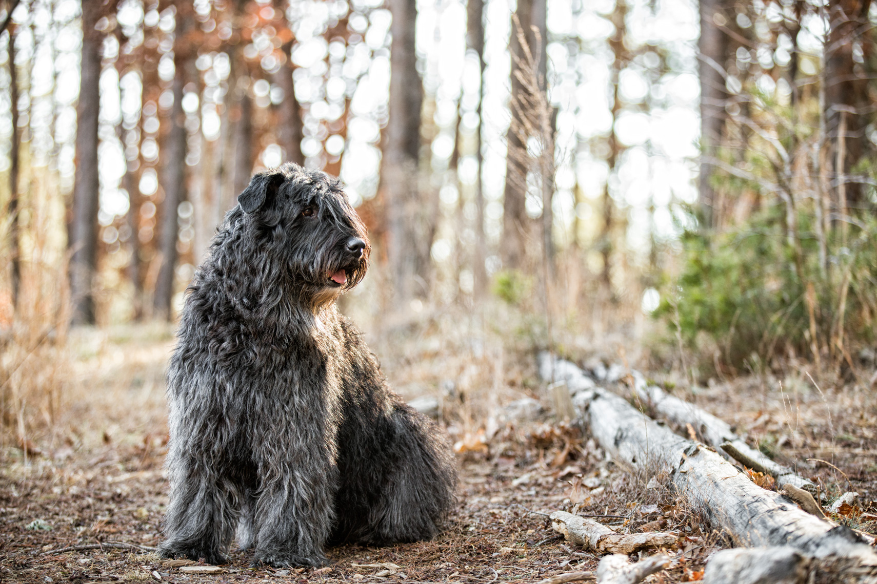 Los Angeles Dog Photography, Michael Brian, pet, cat, Bouvier des Flandres in the woods, Zeus Jones Purina ONE 28 Day Challenge Asheville, North Carolina