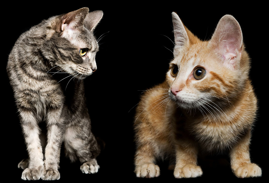 Los Angeles Cat Photography, Michael Brian, pet, dog, Studio portrait of two mixed breed kittens, Studio portrait of four kittens sitting side by side