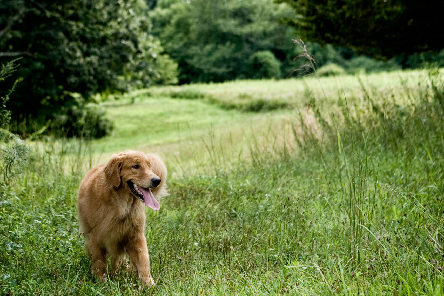 Los Angeles Dog Photography, Michael Brian, pet, cat, Golden Retriever in open field