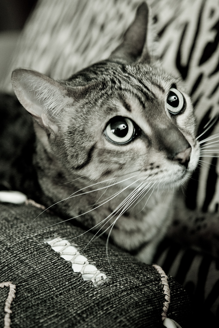 Los Angeles Cat Photography, Michael Brian, pet, dog, Bengal Cat, Black and white portrait