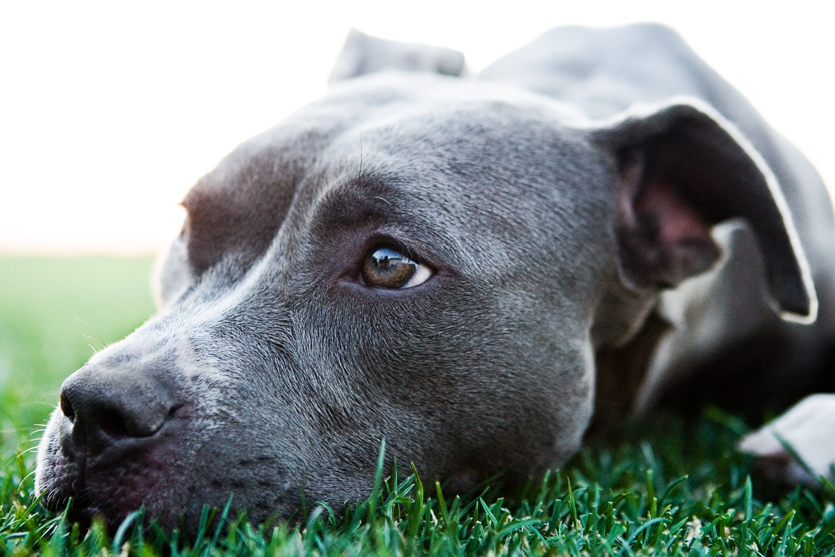 Los Angeles Dog Photography, Michael Brian, Close up head of Blue Nose Pit Bull Kasha Fierce on grass