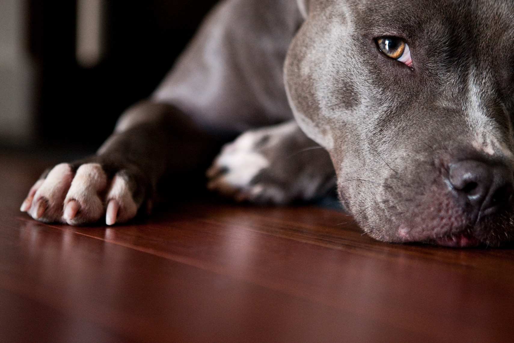 Los Angeles Dog Photography, Michael Brian, Close up headshot of Blue Nose Pit Bull Kasha Fierce on cherrywood floor