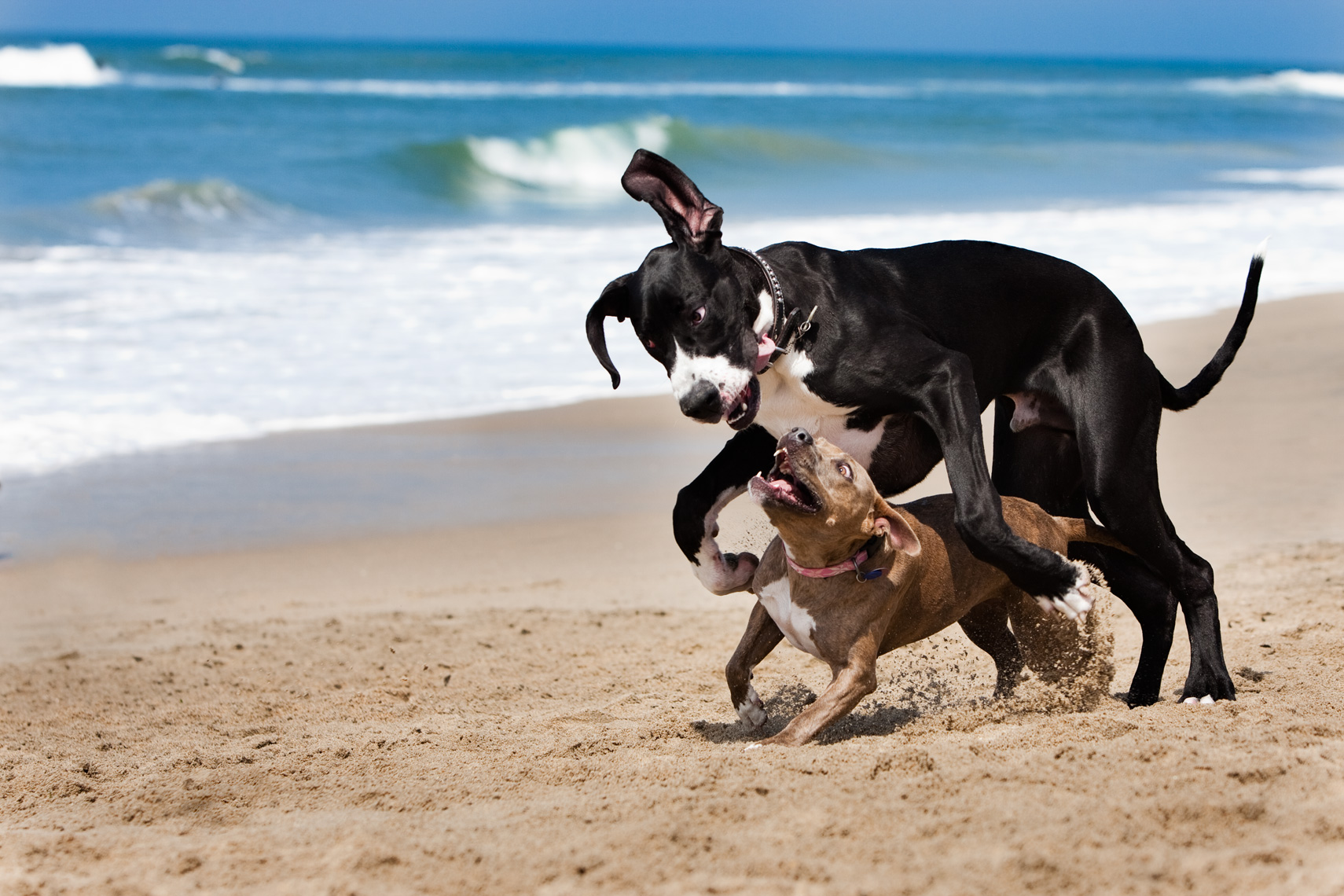 Los Angeles Dog Photography, Michael Brian, Pit Bull plays with Great Dane on beach, Huntington Beach, California Dog Beach, Cesar