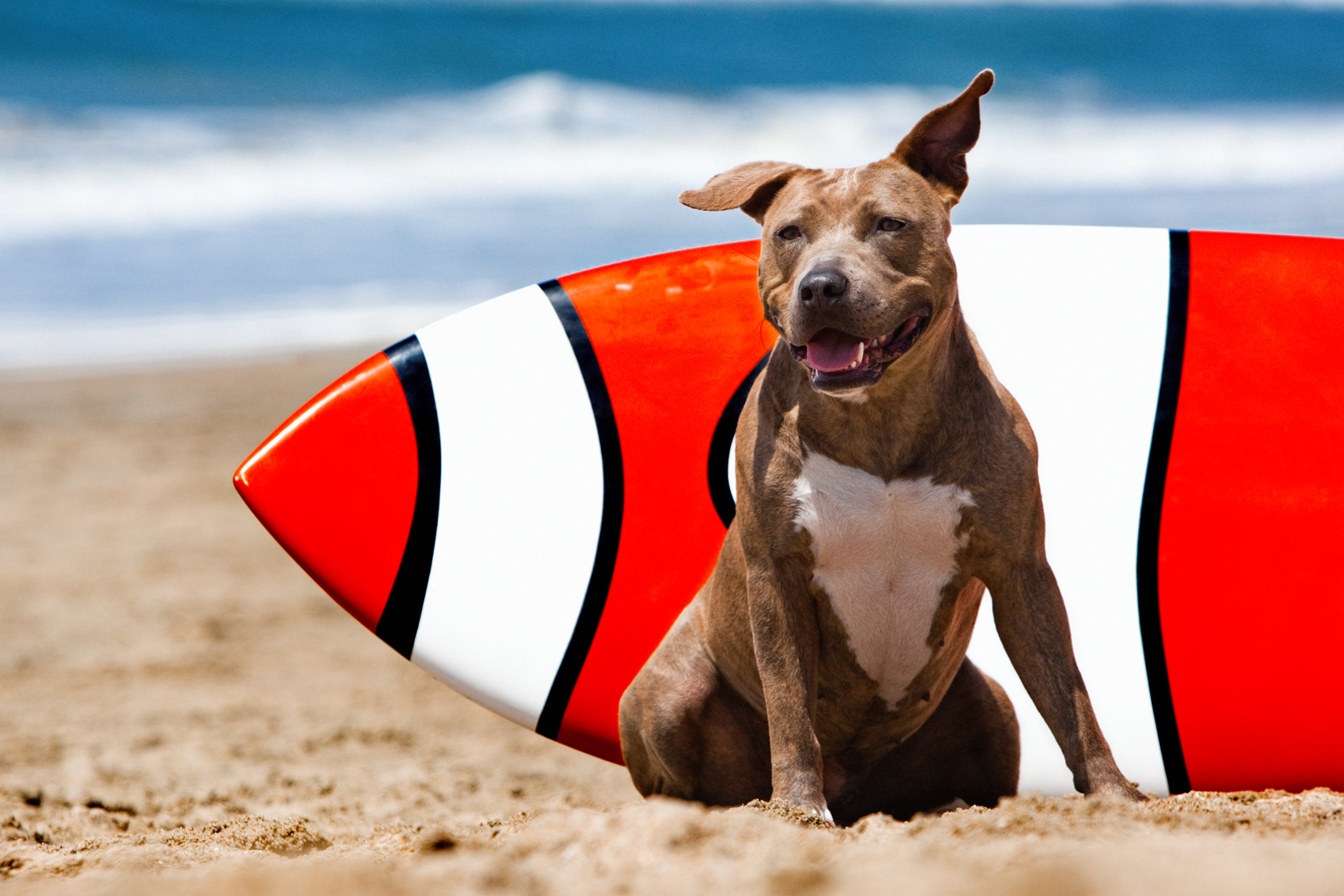 Los Angeles Dog Photography, Michael Brian, Pit Bull and surfborad on beach, Huntington Beach, California Dog Beach, Cesarsway Magazine