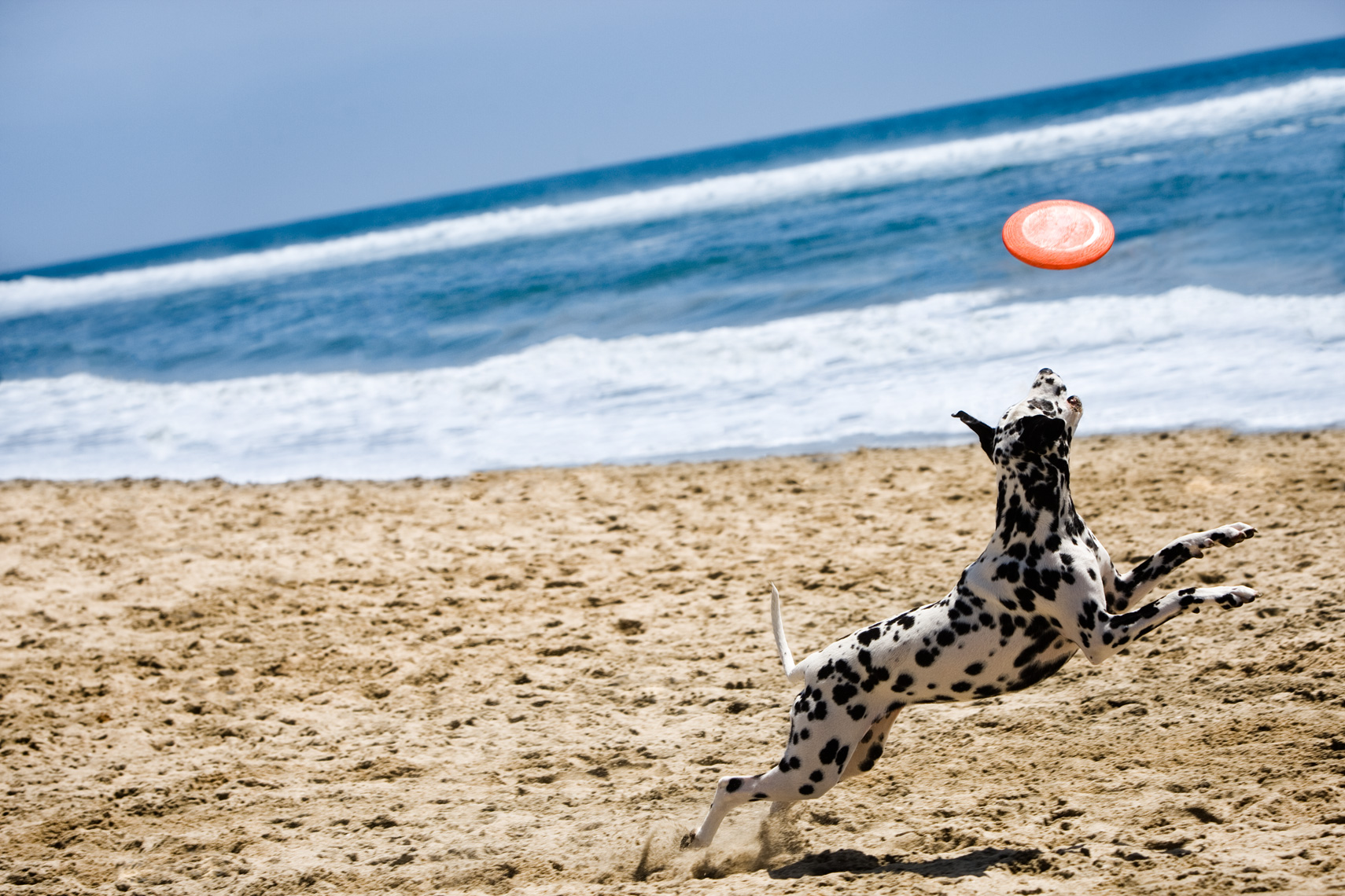 Los Angeles Dog Photography, Michael Brian, pet, cat, Dalmatian chasing frisbee, Huntington Beach Dog Beach, California