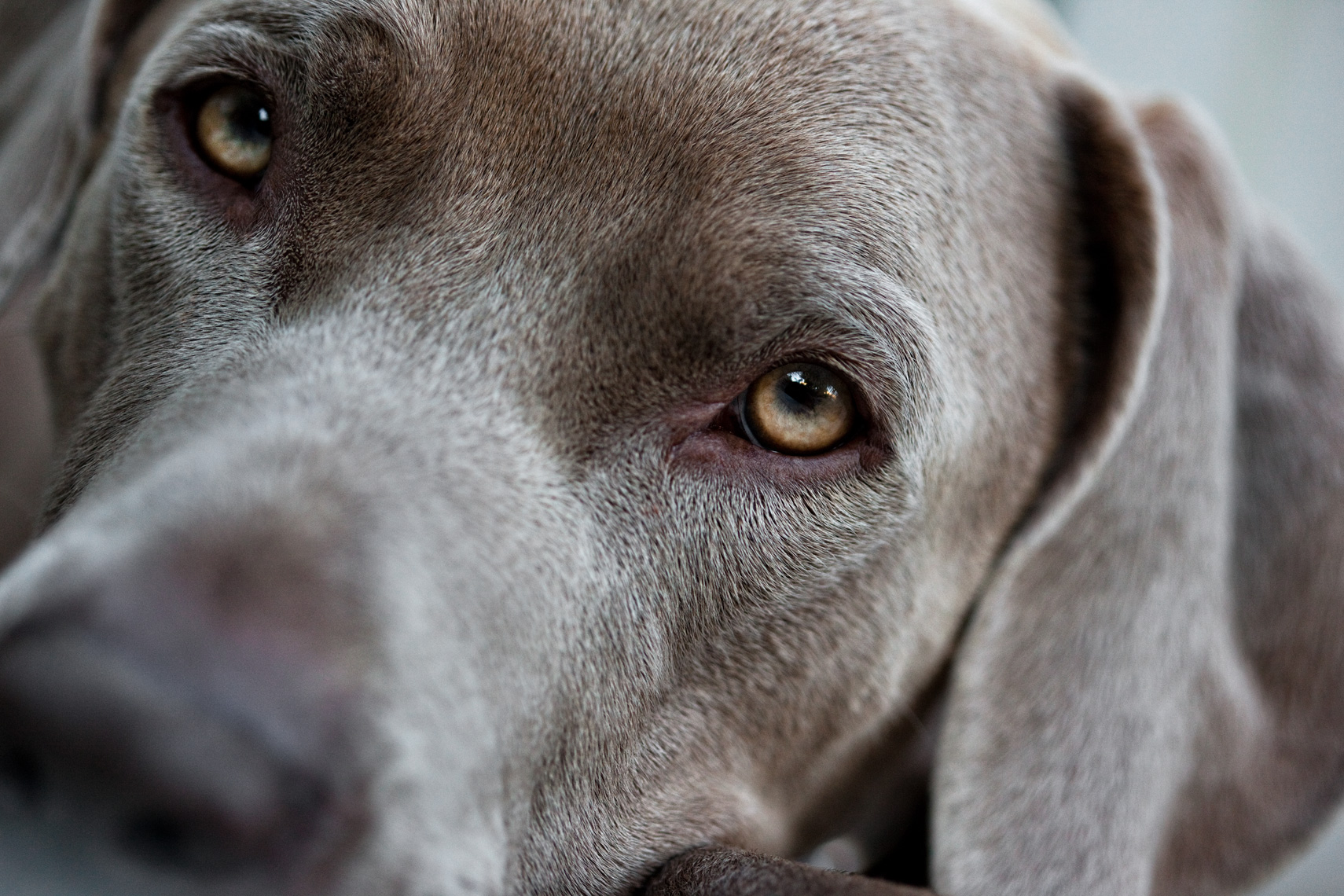 Los Angeles Dog Photography, Michael Brian, pet, cat, Weimaraner soulful face