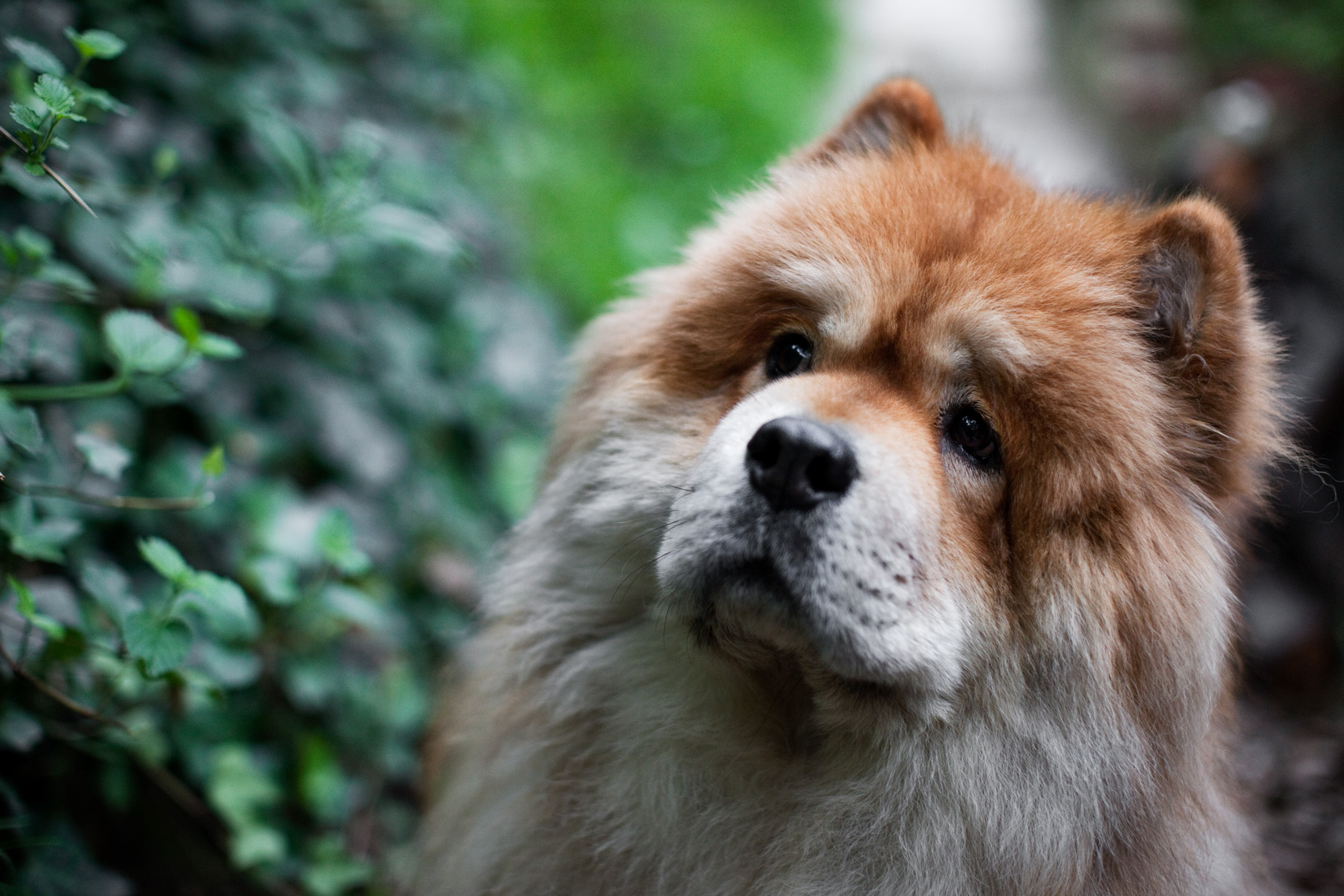 Los Angeles Dog Photography, Michael Brian, pet, cat, Chow Chow amongst greenery