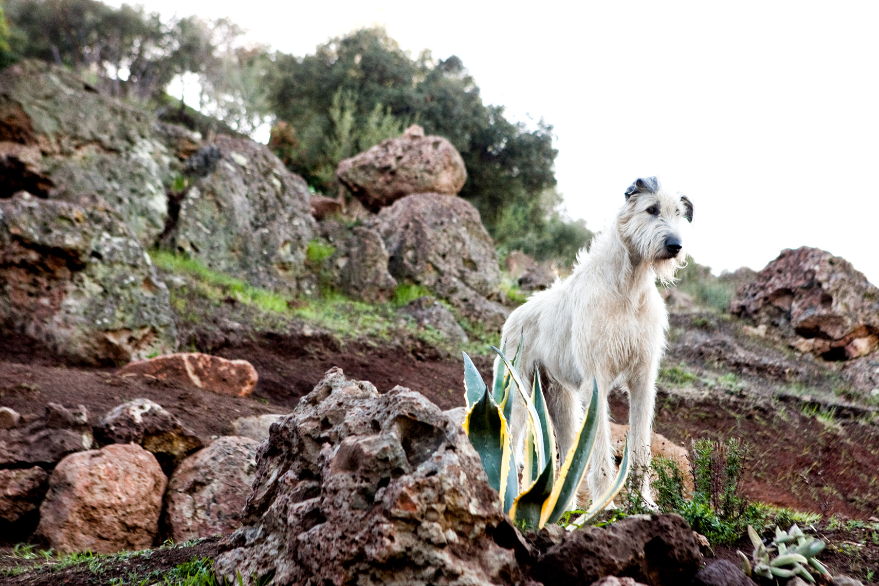 Los Angeles Dog Photography, Michael Brian, pet, cat, Irish Wolfhound on rocks
