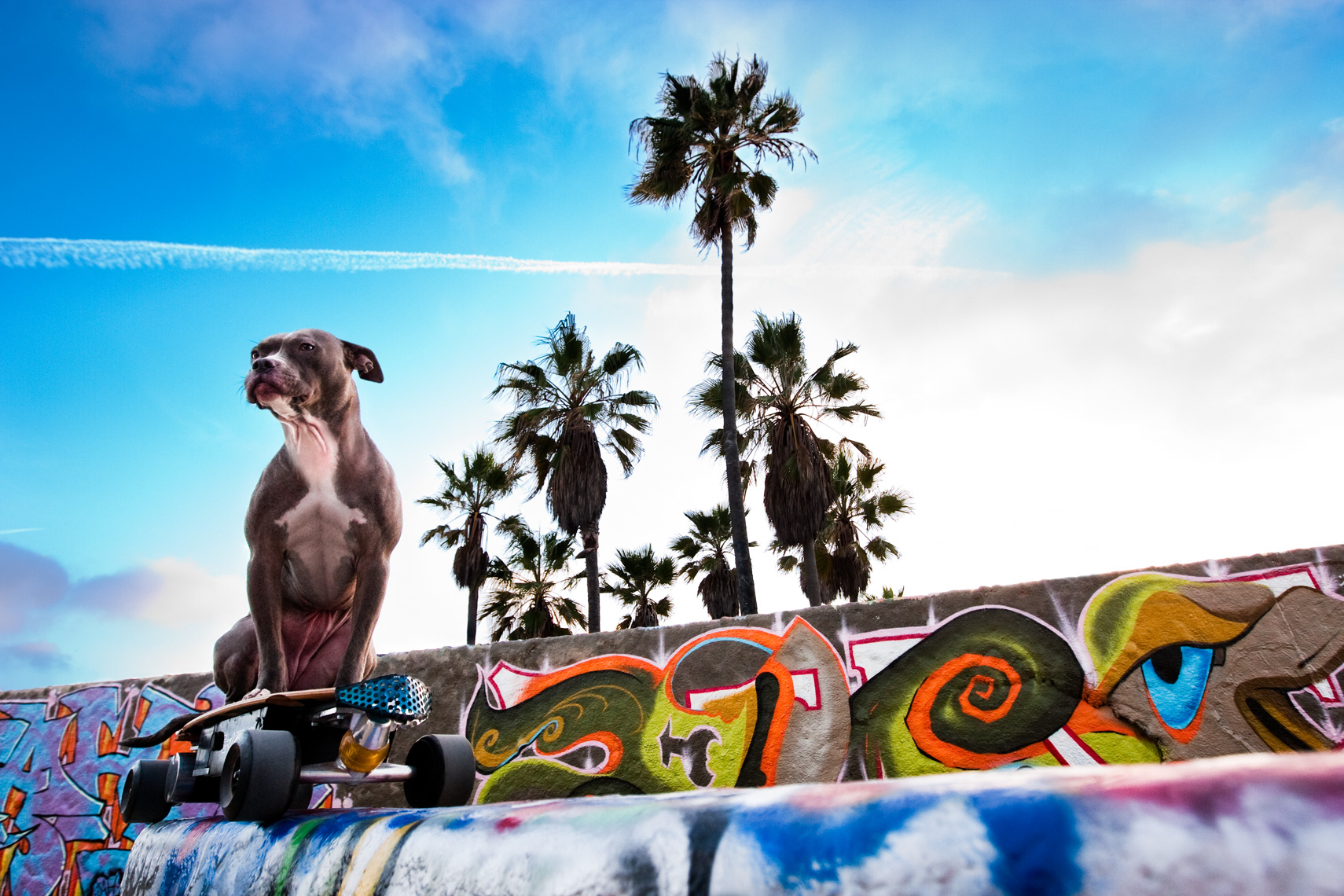 Los Angeles Dog Photography, Michael Brian, Pit Bull, Venice Beach, graffiti, palm trees, Blue Nose, Kasha Fierce, California, blue sky