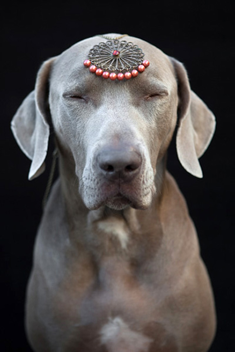 Los Angeles Dog Photography, Michael Brian, Weimaraner meditation