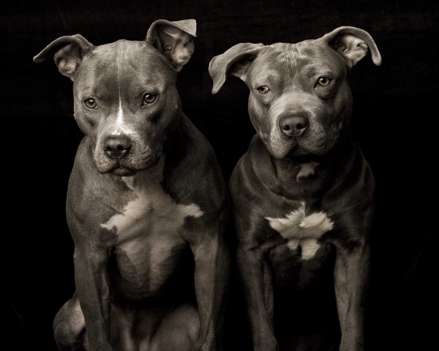 Los Angeles Dog Photography, Michael Brian, Two Blue Nose Pit Bulls sitting, Kasha Fierce