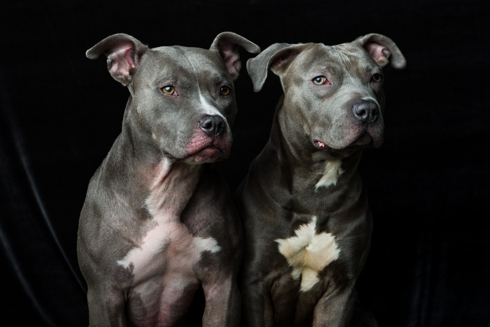 Los Angeles Dog Photography, Michael Brian, pet, cat, Two Blue Nose Pit Bulls, studio portrait