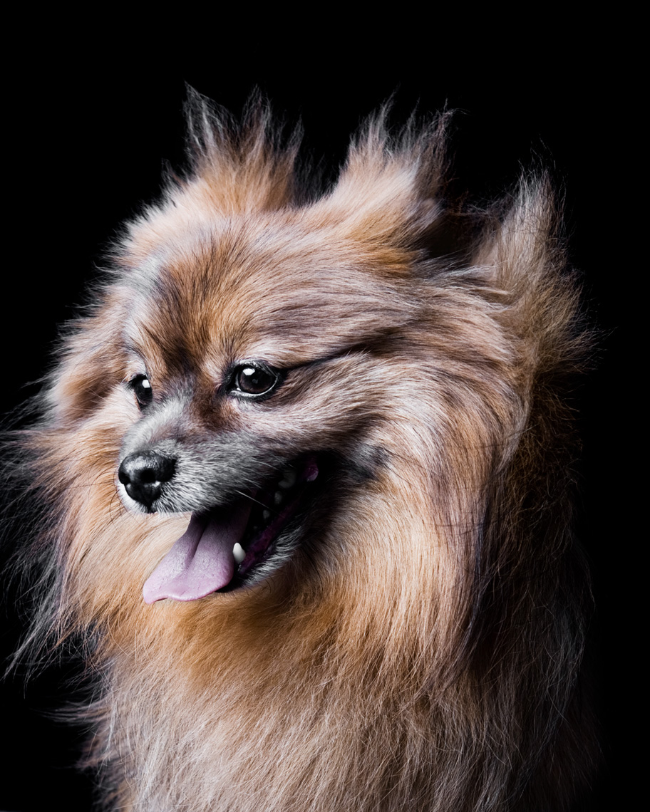 Los Angeles Dog Photography, Michael Brian, pet, cat, Studio headshot portrait of Pomeranian