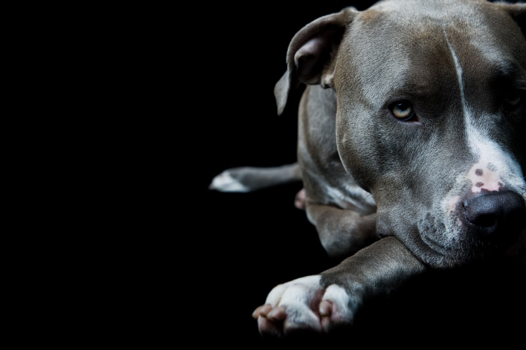 Los Angeles Dog Photography, Michael Brian, pet, cat, Studio portrait of Blue Nose Pit Bull laying down