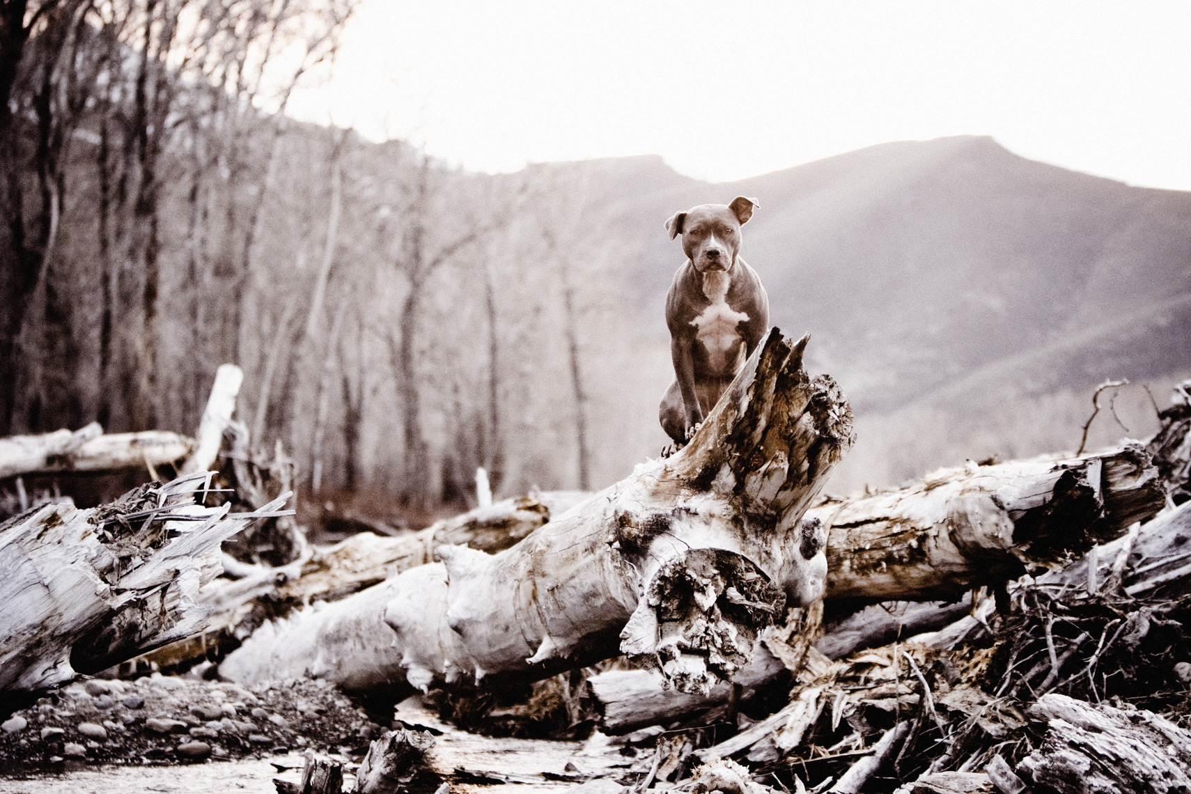 Los Angeles Dog Photography, Michael Brian, Blue Nose Pit Bull Kasha Fierce on log pile in Sun Valley, Idaho