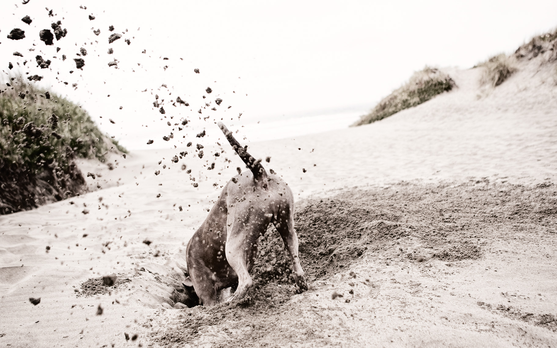 Los Angeles Dog Photography, Michael Brian, pet, cat, Pit Bull digging hole at beach, Blue Nose