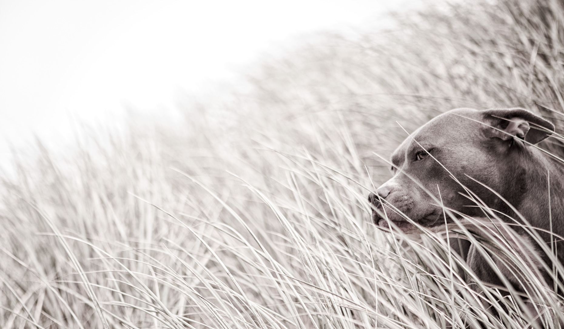 Los Angeles Dog Photography, Michael Brian, Blue Nose Pit Bull  in sea grass, Soulful portrait of Kasha Fierce
