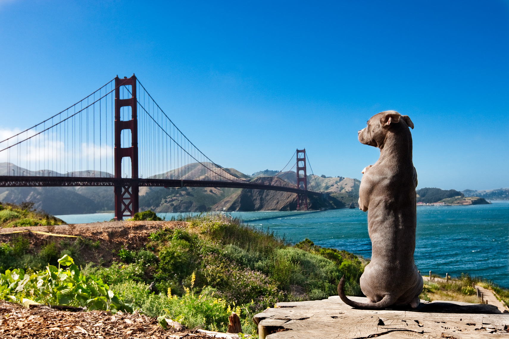 Los Angeles Dog Photography, Michael Brian, Golden Gate Bridge, Pit Bull sitting on two back legs, Blue Nose, Kasha Fierce