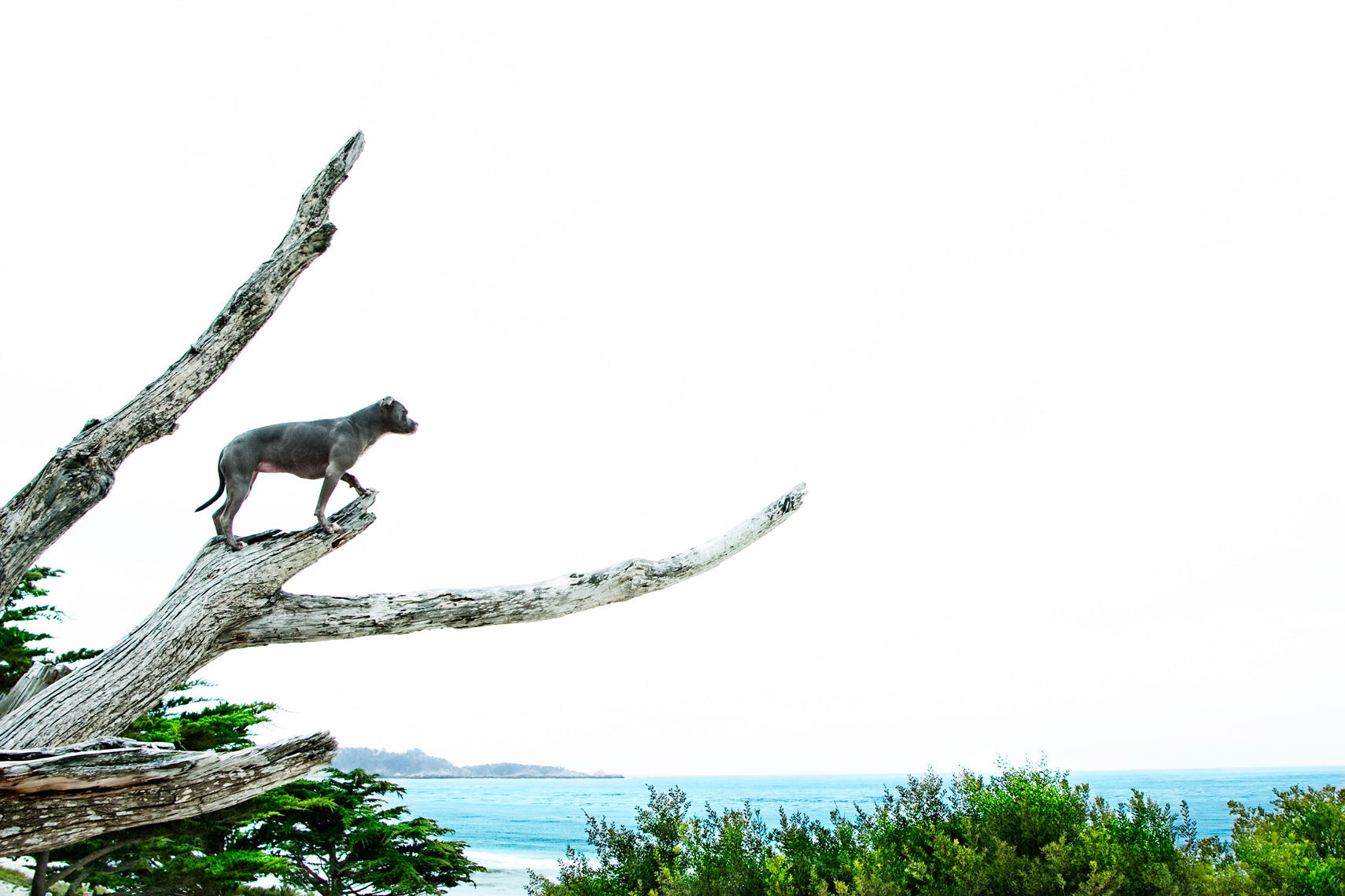 Los Angeles Dog Photography, Michael Brian, Blue Nose Pit Bull Kasha Fierce on branch in tree overlooking ocean Carmel, California
