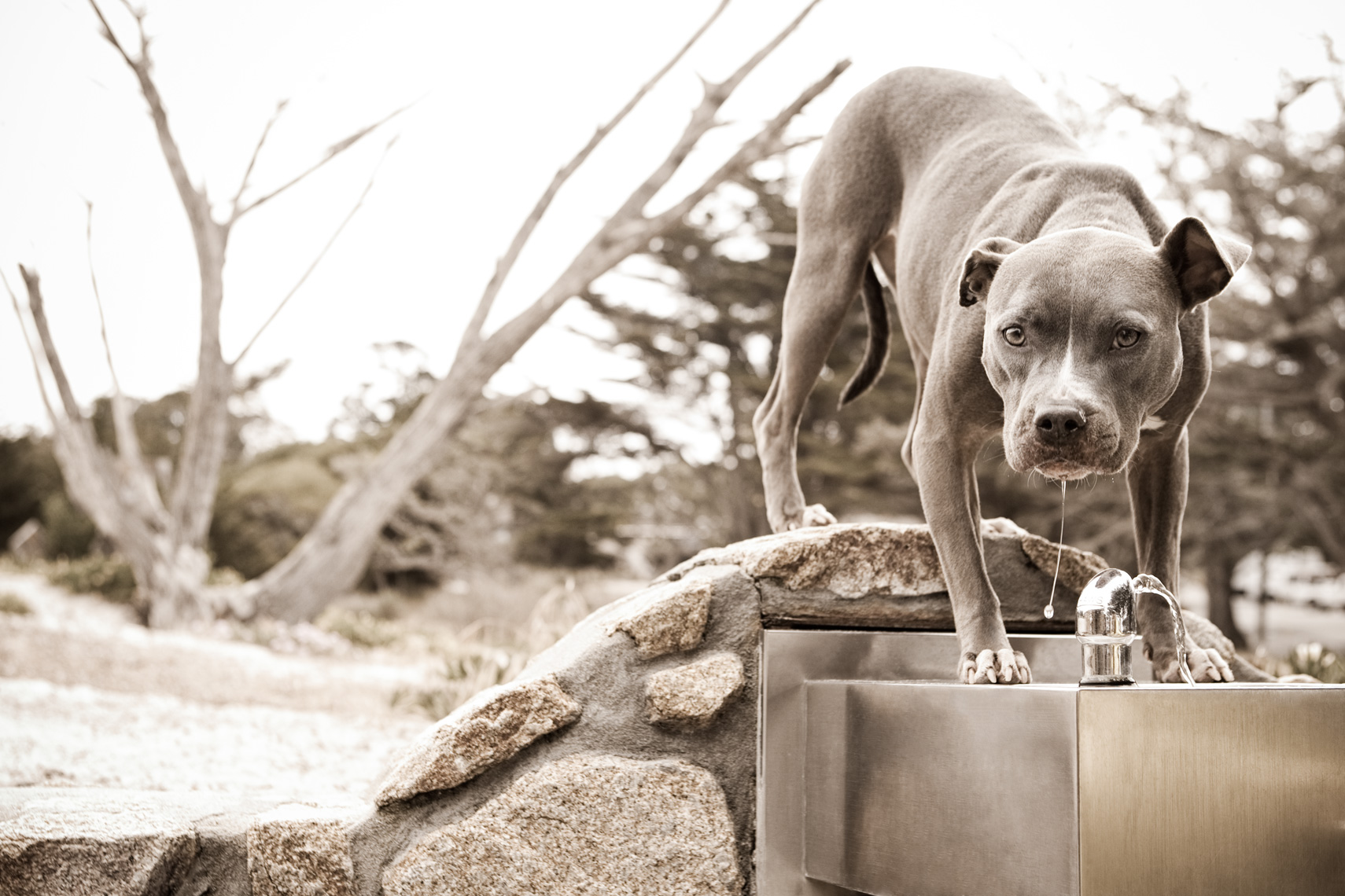 Los Angeles Dog Photography, Michael Brian, Blue Nose Pit Bull drinks at water fountain, Portrait of  Kasha Fierce