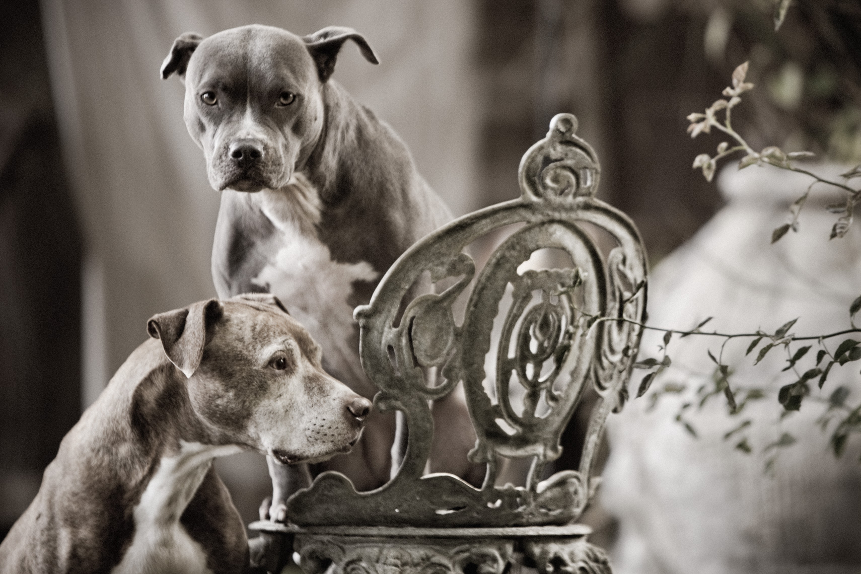 Los Angeles Dog Photography, Michael Brian, Two Pit Bulls, Blue Nose Kasha Fierce