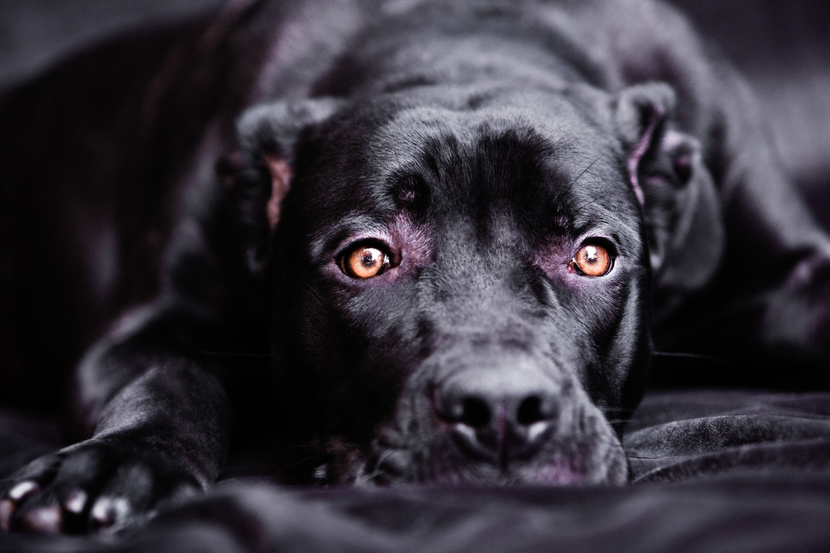 Los Angeles Dog Photography, Michael Brian, pet, cat, Cane Corso laying down, studio portrait