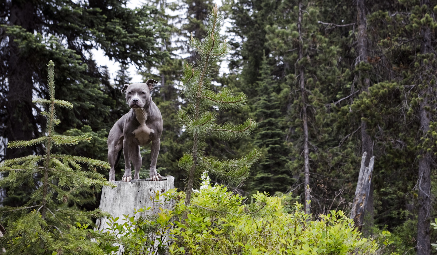 Los Angeles Dog Photography, Michael Brian, Blue Nose Pit Bull Kasha Fierce on tree stump in woods