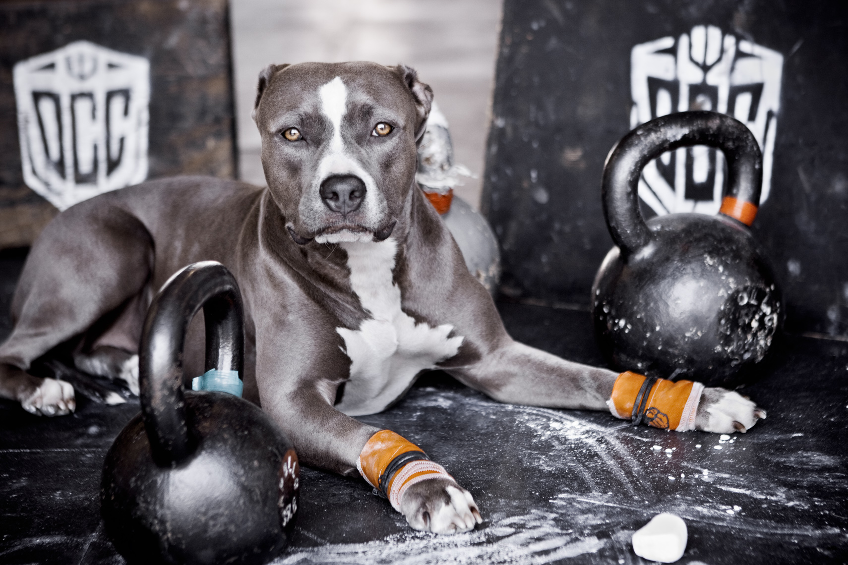 Crossfit, LA Dog Photography, Michael Brian, Los Angeles, Sports, Blue Nose Pit Bull, Strength wraps at Orange Coast Crossfit