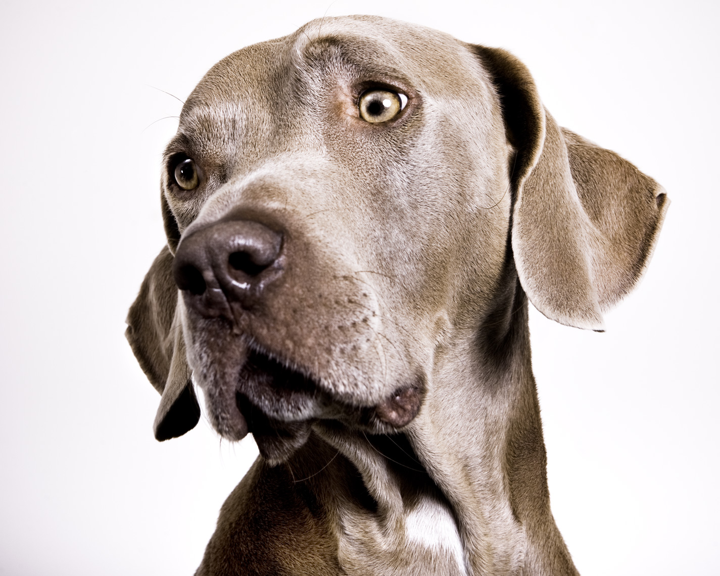 Los Angeles Dog Photography, Michael Brian, pet, cat, Weimaraner, studio headshot portrait