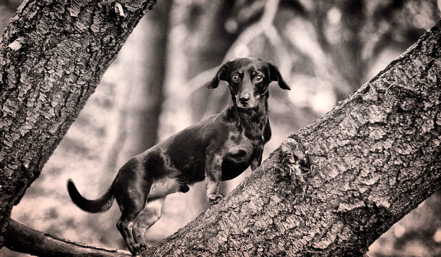 Los Angeles Dog Photography, Michael Brian, pet, cat, Dachshund on branch in tree