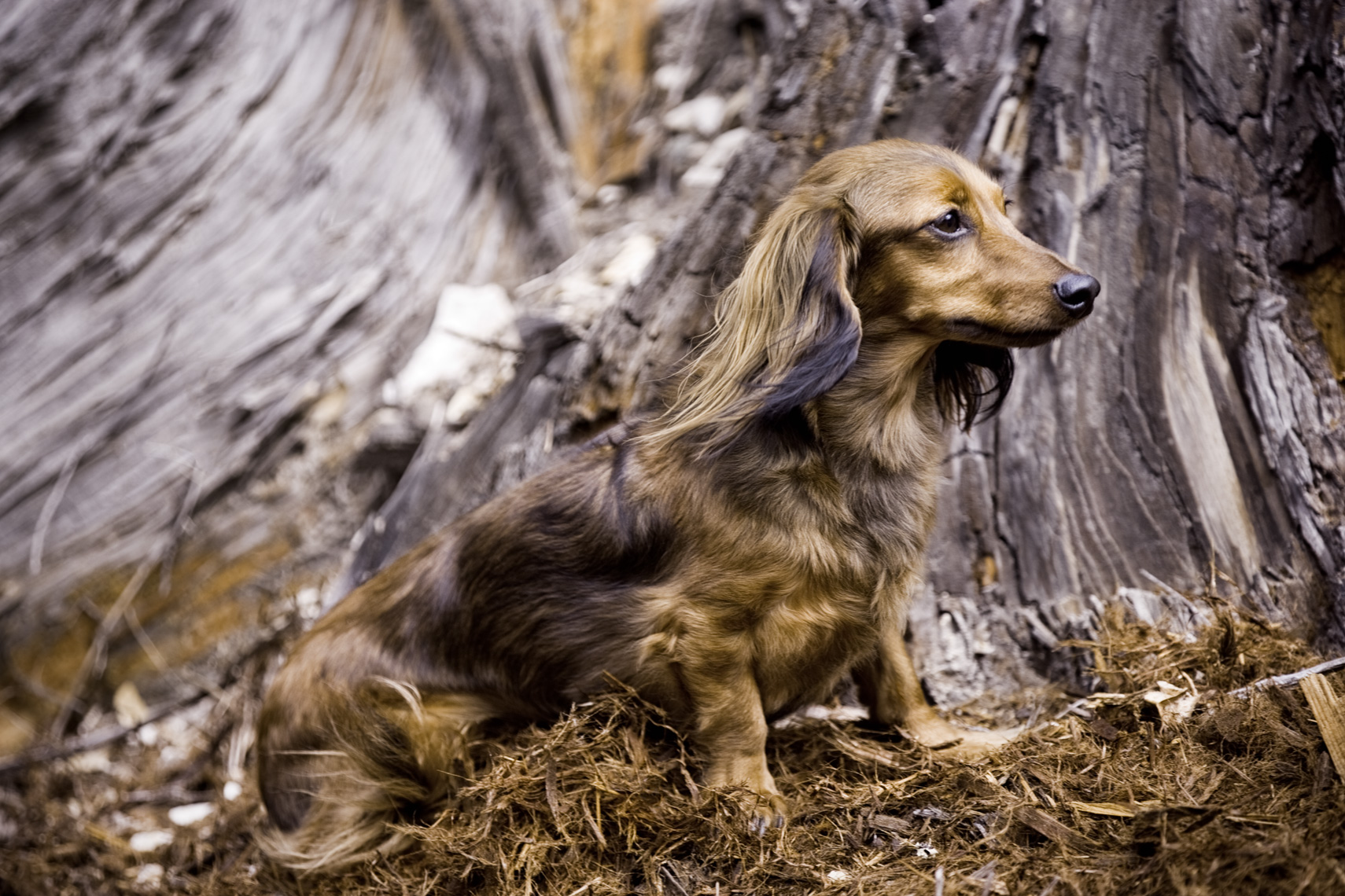 Los Angeles Dog Photography, Michael Brian, pet, cat, Gorgeous outdoor portrait of Long Hair Dachshund