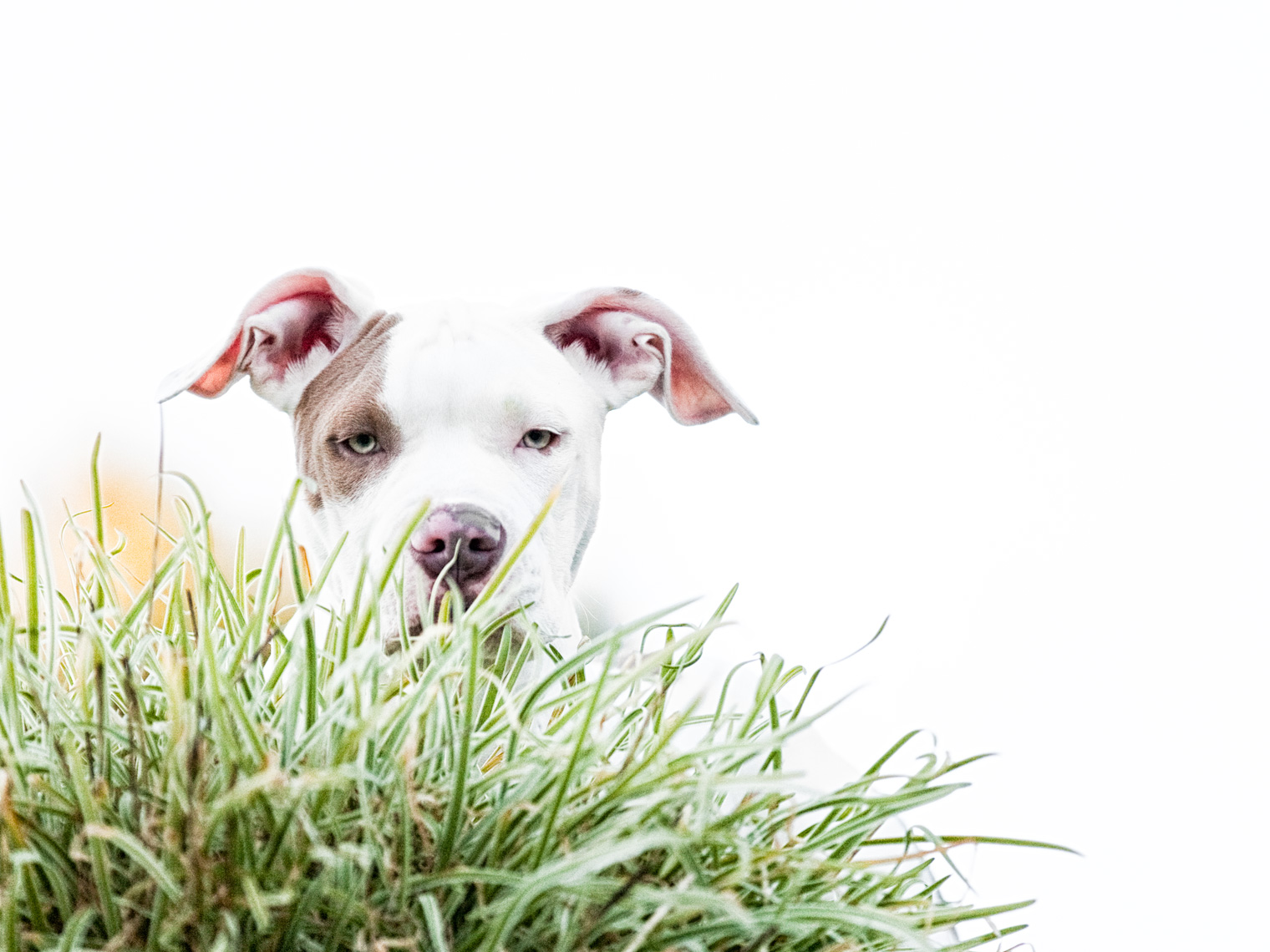 Los Angeles Dog Photography, Michael Brian, pet, cat, White Pit Bull puppy peaking up over patch of grass