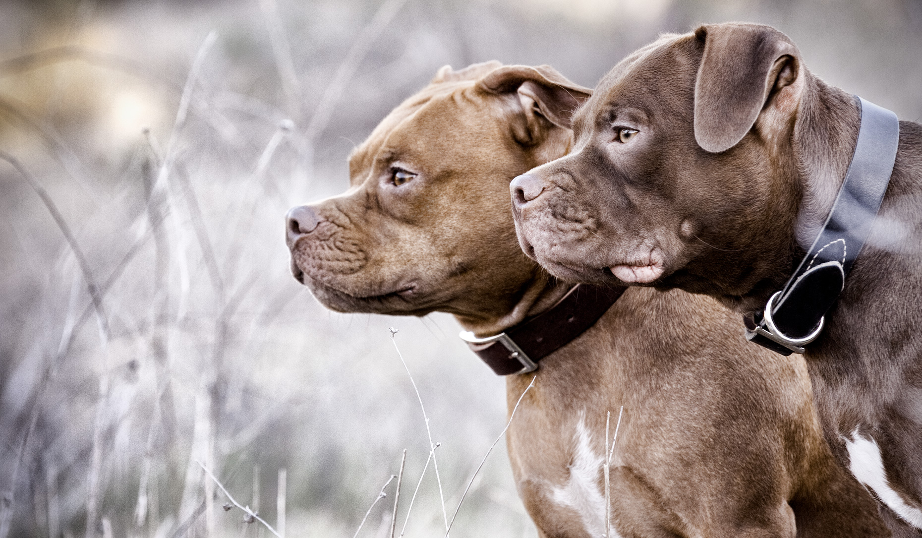 Los Angeles Dog Photography, Michael Brian, pet, cat, Two brown Pit Bulls, profile portrait