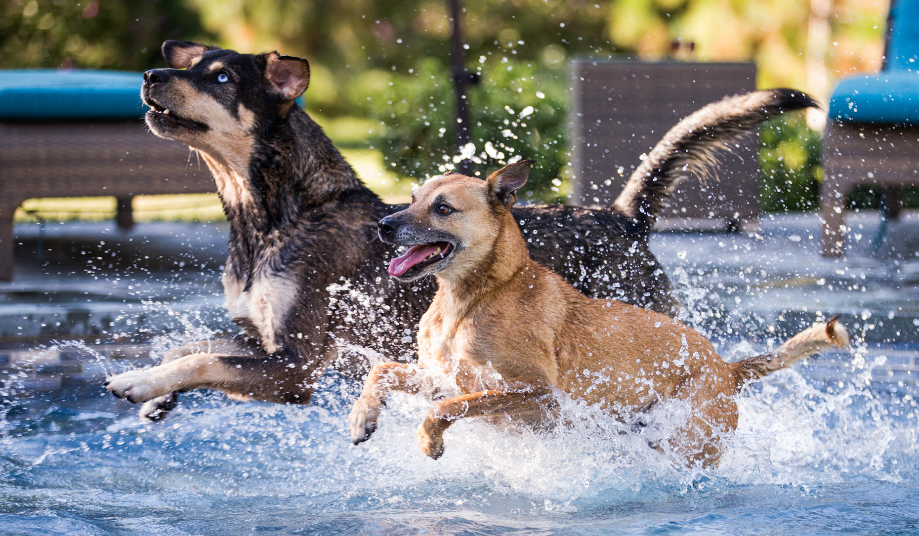 Los Angeles Dog Photography, Michael Brian, pet, cat, Two mixed breed dogs running, splashing through shallow water of pool