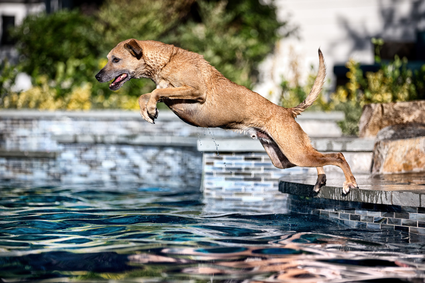 Los Angeles Dog Photography, Michael Brian, pet, cat, Dog jumping into pool, full extension
