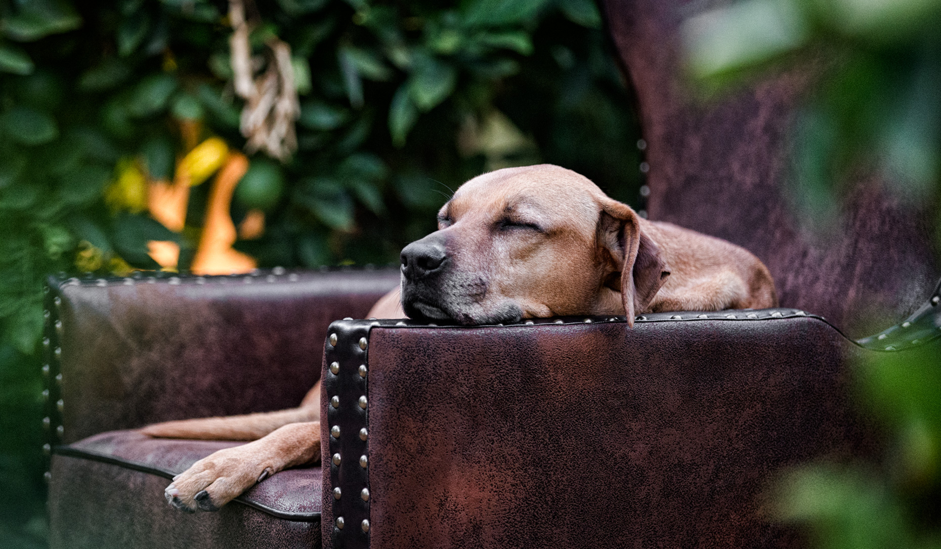 Los Angeles Dog Photography, Michael Brian, pet, cat, Mixed Breed dog asleep on arm of leather chair outside