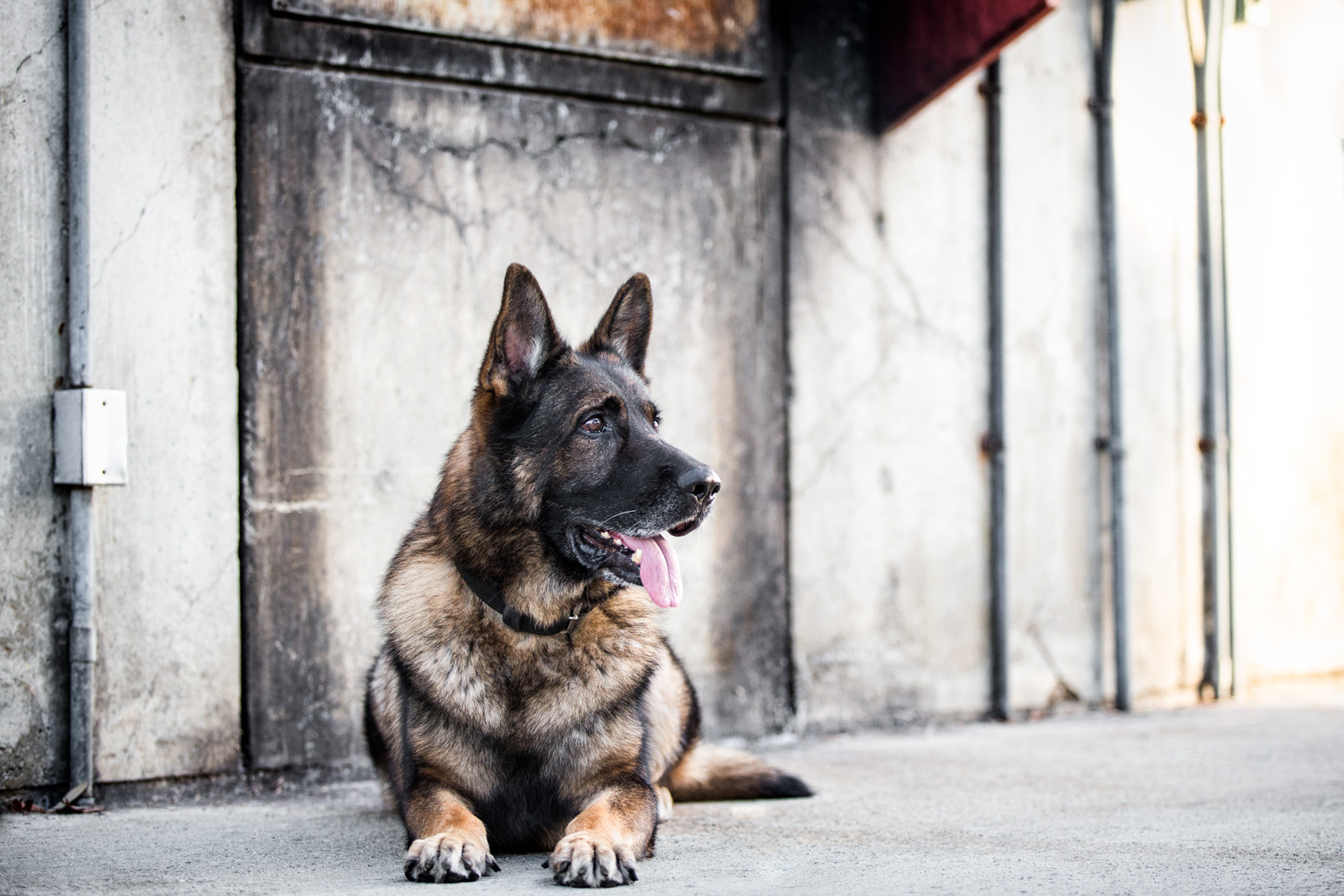 Los Angeles Dog Photography, Michael Brian, pet, cat, German Shepherd K-9 laying down, alert, SBPD, Santa Barbara Police