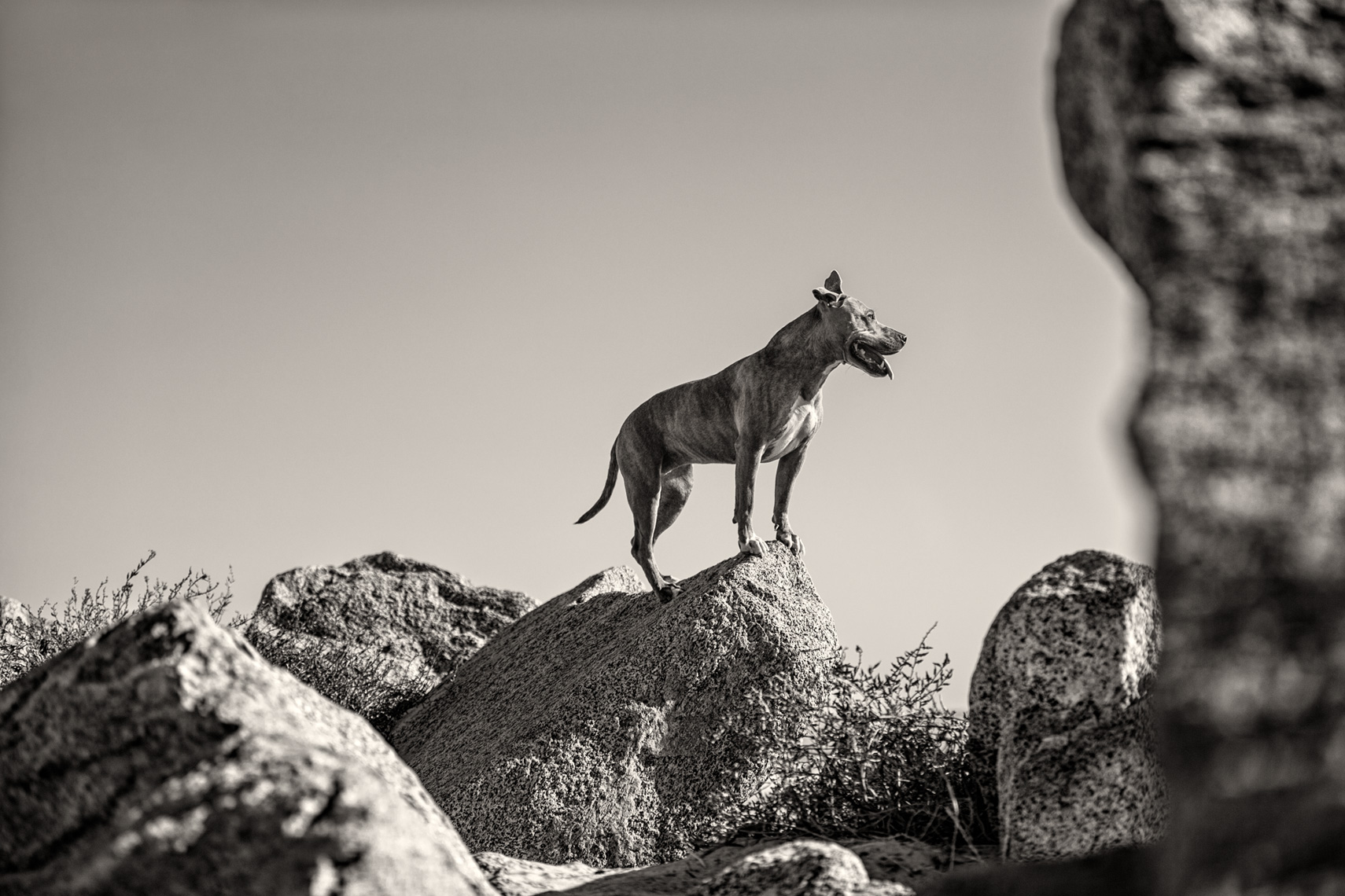 Los Angeles Dog Photography, Michael Brian, Pit Bull on rocks at Padero Beach, California